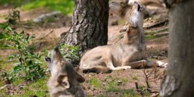 27 avril – Loups